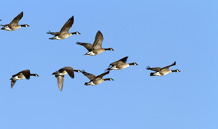 canada-geese-in-flight